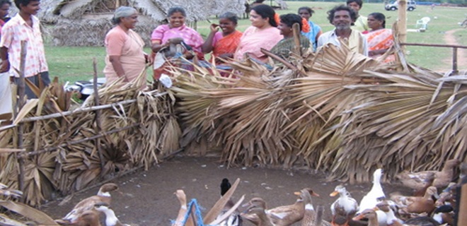 The traditional job of Puthirai Vannars-duck rearing, associated with their water-bound caste duties